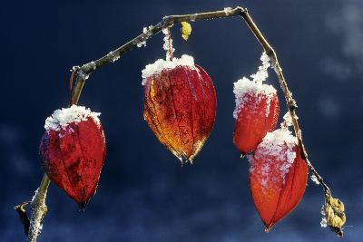 Winter Cherry--Photographic Print