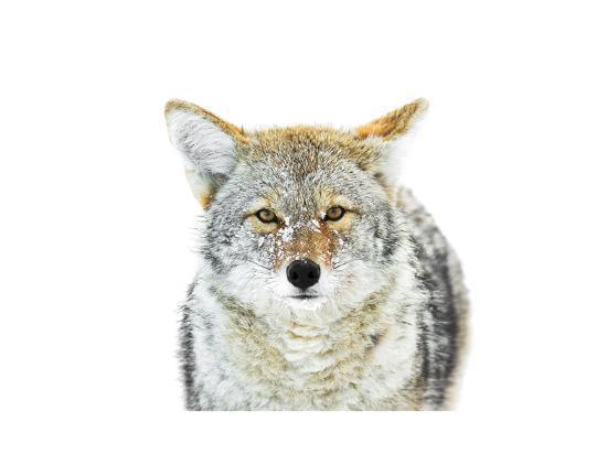 Winter Coyote-Jason Savage-Art Print