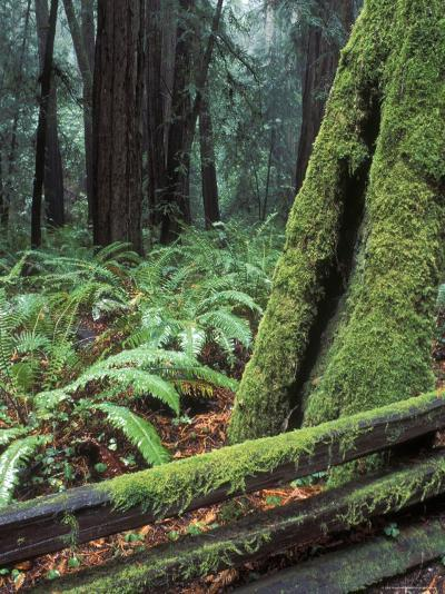Winter Greenery in the Redwood Forest, California-Rich Reid-Photographic Print