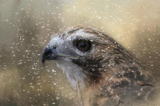 Winter Redtail-Jai Johnson-Giclee Print