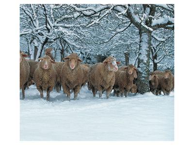 Winter Sheeps--Art Print