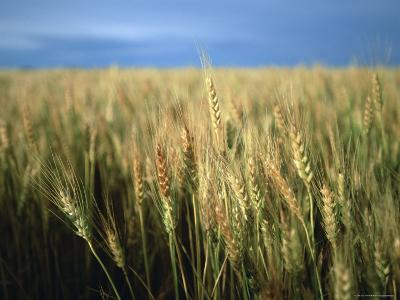 Winter Wheat in Linn, Kansas-Joel Sartore-Photographic Print