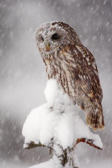 Winter Wildlife Scene with Owl. Tawny Owl Snow Covered in Snowfall during Winter. Action Snowfall S-Ondrej Prosicky-Photographic Print