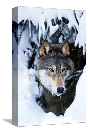 Winter Wolf--Stretched Canvas Print