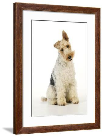 Wire Fox Terrier--Framed Photographic Print