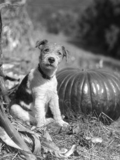 Wire Hair Terrier-H^ Armstrong Roberts-Photographic Print