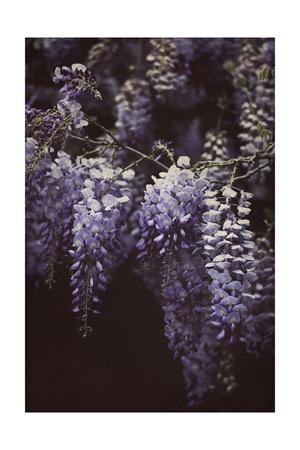 https://imgc.artprintimages.com/img/print/wisteria-cascade-ii_u-l-q12yqlu0.jpg?p=0