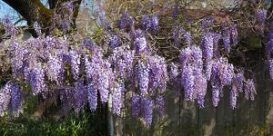Wisteria Flowers in Bloom, Sonoma, California, USA
