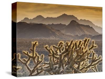 Cholla Cacti with Providence Mountains, Mojave National Preserve