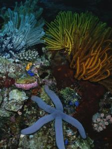 A Blue Starfish with Colorful Coral and Sea Anemones by Wolcott Henry