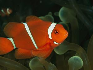 A Brilliant, Flourescent-Orange Spine-Cheeked Clownfish (Premnas Biaculeatus) by Wolcott Henry