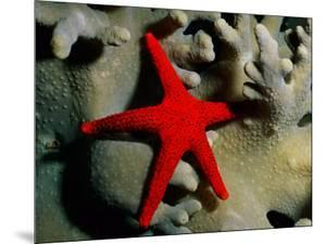 A Brilliant Red Starfish Rests on a Coral by Wolcott Henry