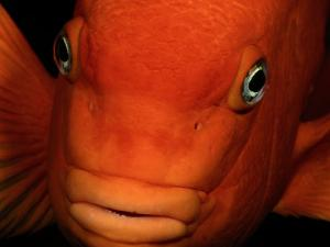 A Close-up of a Tangerine-Colored Garibaldi Fish by Wolcott Henry