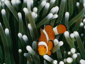 A Close-View Image of a False Clown Anemonefish (Amphiprion Ocellaris) by Wolcott Henry