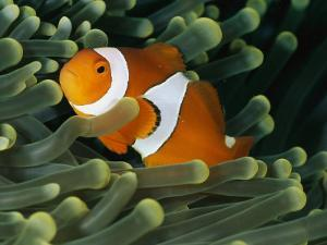 A Close-View Photograph of a False Clown Anemonefish by Wolcott Henry