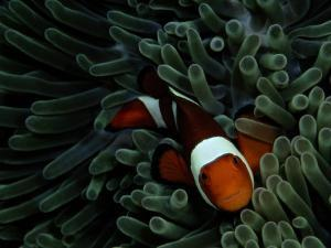 A False Clown Anemonefish Floats Through Sea Anemone Tentacles by Wolcott Henry