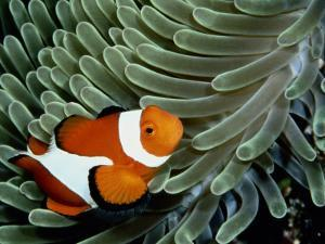 A False Clown Anemonefish Swims Through Sea Anemone Tentacles by Wolcott Henry