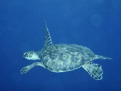 A Lone Sea Turtle Swims Through the Water