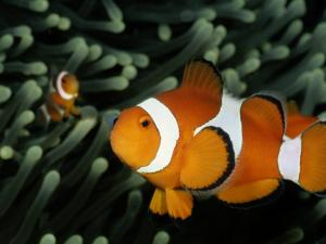 A Pair of False Clown Anemonefish by Wolcott Henry