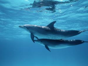 A Pair of Spotted Dolphins by Wolcott Henry