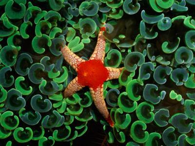 A Red-Tipped Starfish Walks Through a Mass of Anchor Coral