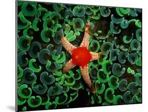 A Red-Tipped Starfish Walks Through a Mass of Anchor Coral by Wolcott Henry