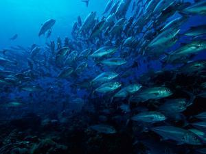 A School of Fish Find Protection in Numbers as They Swim over a Reef by Wolcott Henry
