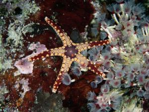 A Starfish Amid a Cluster of Tubeworms by Wolcott Henry