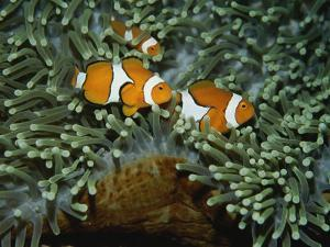 A Trio of False Clown Anemonefish in the Tentacles of Sea Anemones by Wolcott Henry