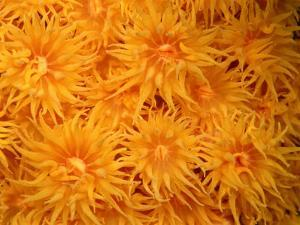 Close View of Cup Coral by Wolcott Henry