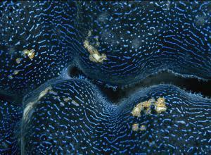 Close View of the Blue-Colored Mantle of a Giant Clam by Wolcott Henry