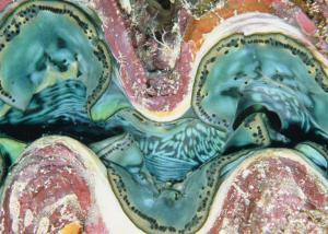 Close View of the Mantle of a Giant Clam by Wolcott Henry