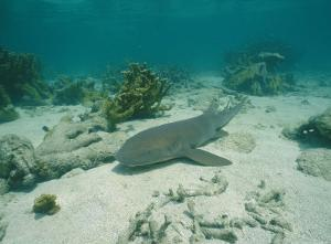 Nurse Shark Rests on the Sea Floor Off the Coast of Key West by Wolcott Henry