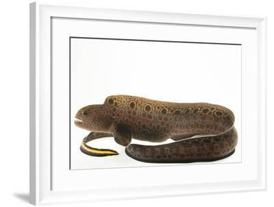 Wolf eel, Anarrhichthys ocellatus, at the Alaska SeaLife Center.-Joel Sartore-Framed Photographic Print