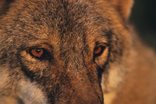 Wolf Eyes-Staffan Widstrand-Giclee Print