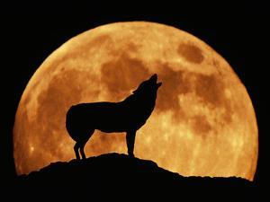 Wolf Howling at Full Moon, Side View in Silhouette