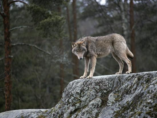 Wolf On Rock Photographic Print By Mattias Klum Art Com