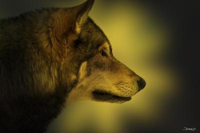 Wolf Profile HL1-Gordon Semmens-Photographic Print