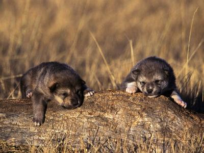 Wolf Pups Less Than 2 Weeks Old, Canis Lupus, CO-D^ Robert Franz-Photographic Print