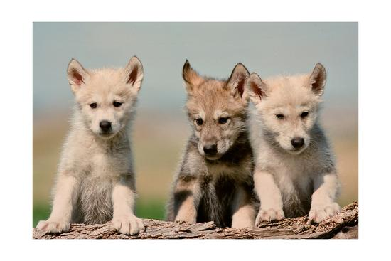 Wolf Pups-Lantern Press-Art Print