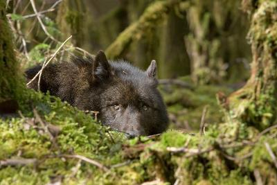 Wolf Rests in a Mossy Bed on the Forests Floor of the Tongass National Forest in Southeast Alaska-Design Pics Inc-Photographic Print