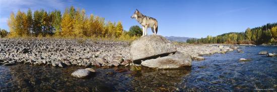 Wolf Standing on a Rock at the Riverbank, US Glacier National Park, Montana, USA--Photographic Print