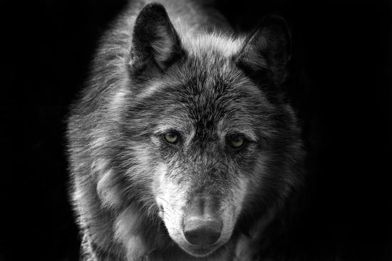 Wolf-Brian Dunne-Photographic Print