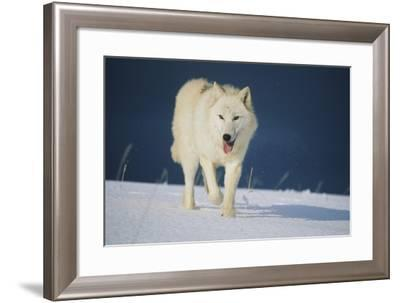 Wolf--Framed Photographic Print
