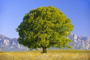 Big Beech as a Single Tree in the Spring by Wolfgang Filser