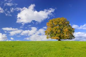 Big Beech on the Meadow as a Single Tree in the Allgau by Wolfgang Filser