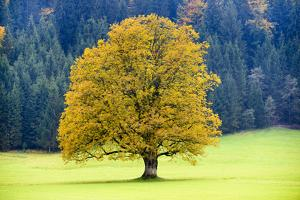 Big Maple as a Single Tree in Autumn by Wolfgang Filser