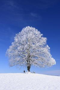 Tallness Old Lime-Tree with Hoarfrost in Winter in Bavaria by Wolfgang Filser