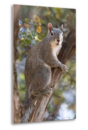 Silver - Gray Squirrel