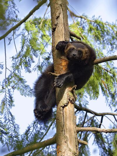 Wolverine (Gulo Gulo) Resting in Tree, Native to North America and Europe-Konrad Wothe-Photographic Print